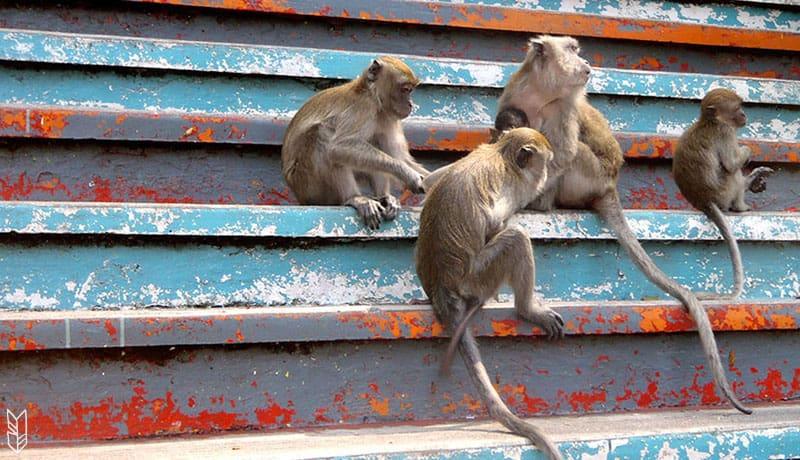 les singes de Malaisie