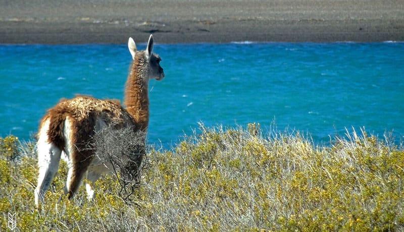 Lama - Patagonie