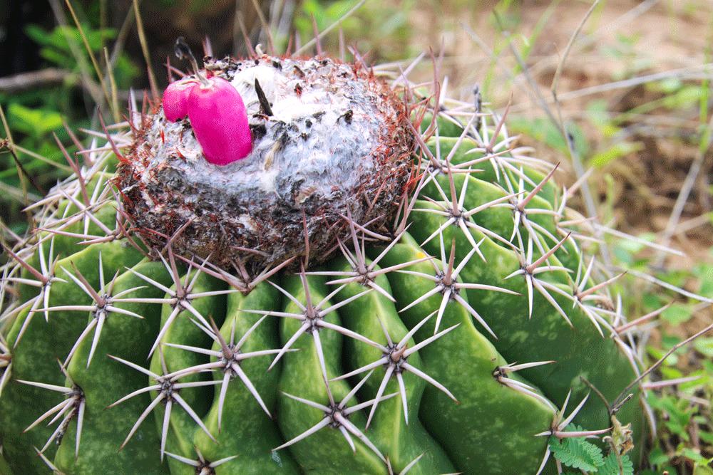 les fruits des cactus