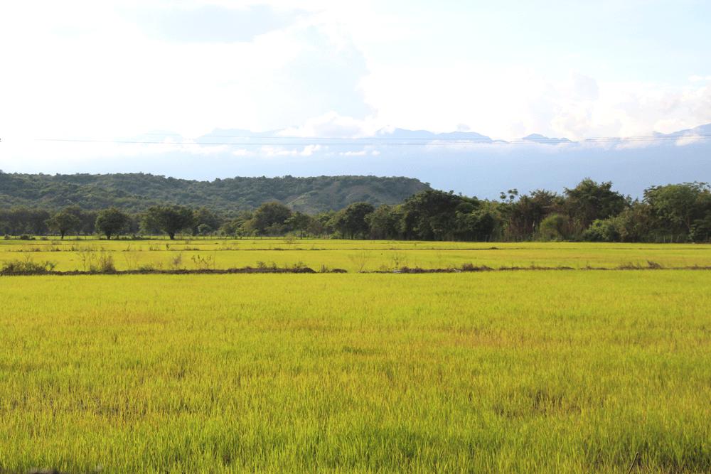 les rizières sur la route de Tatacoa