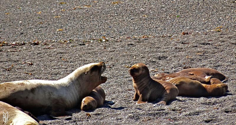 les bébés otarie en Patagonie