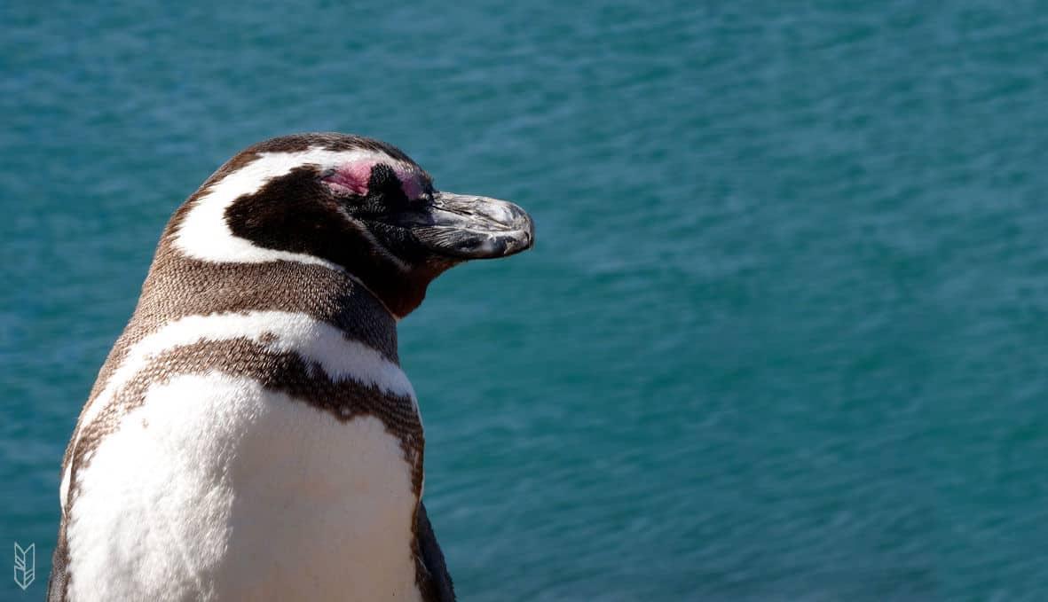 pingouin de la Péninsule de Valdes