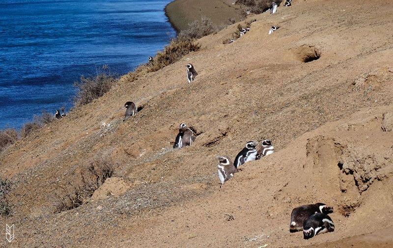 voir les pingouins en Patagonie