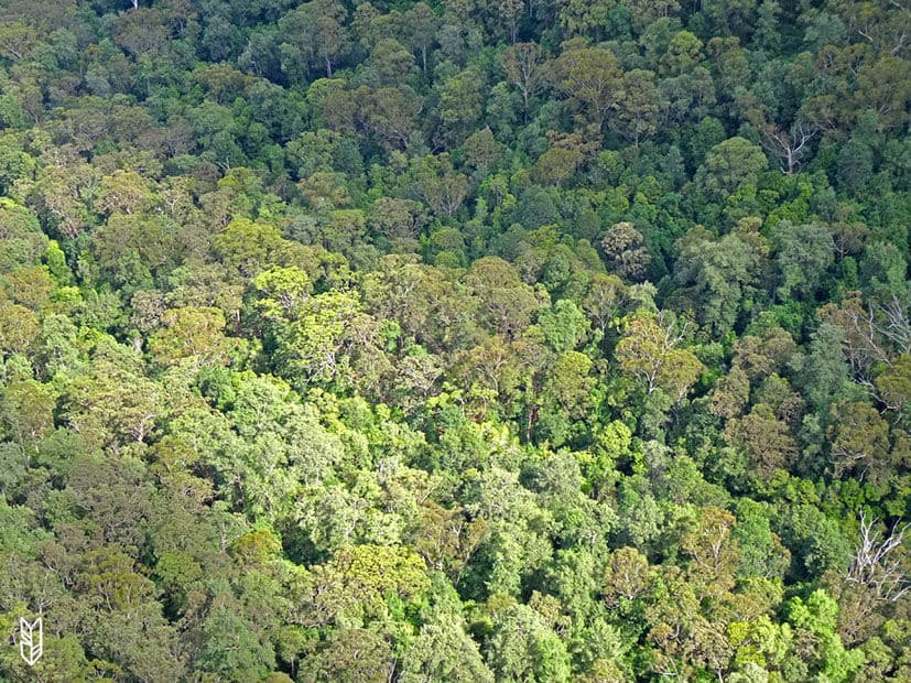 les Eucalyptus des Blue Mountains - Australie