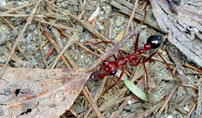un énorme fourmi en Australie