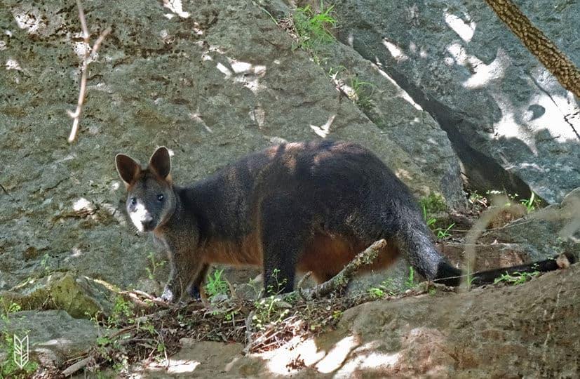 voir un Kangourou- en Australie