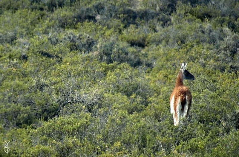 voir un lama en Argentine