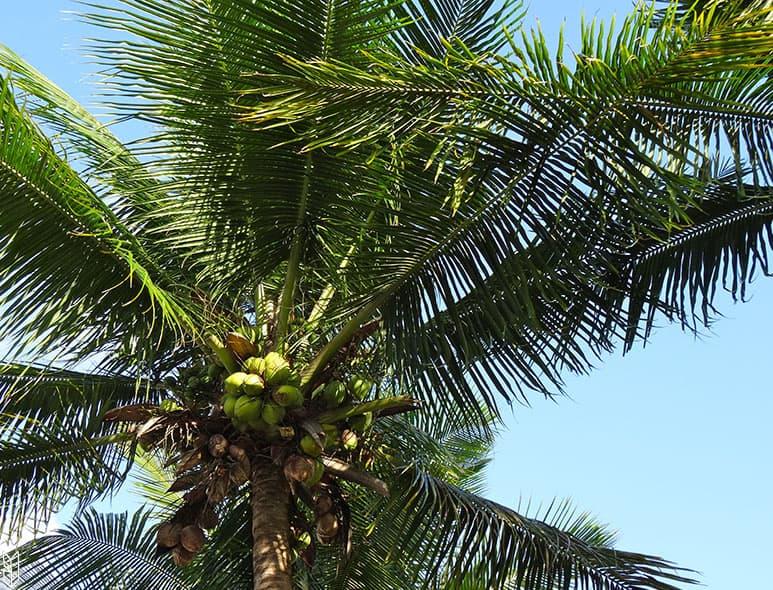 le vert des palmiers - Brésil