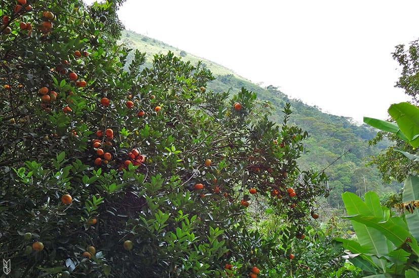 les mandarines du jardin - Venezuela