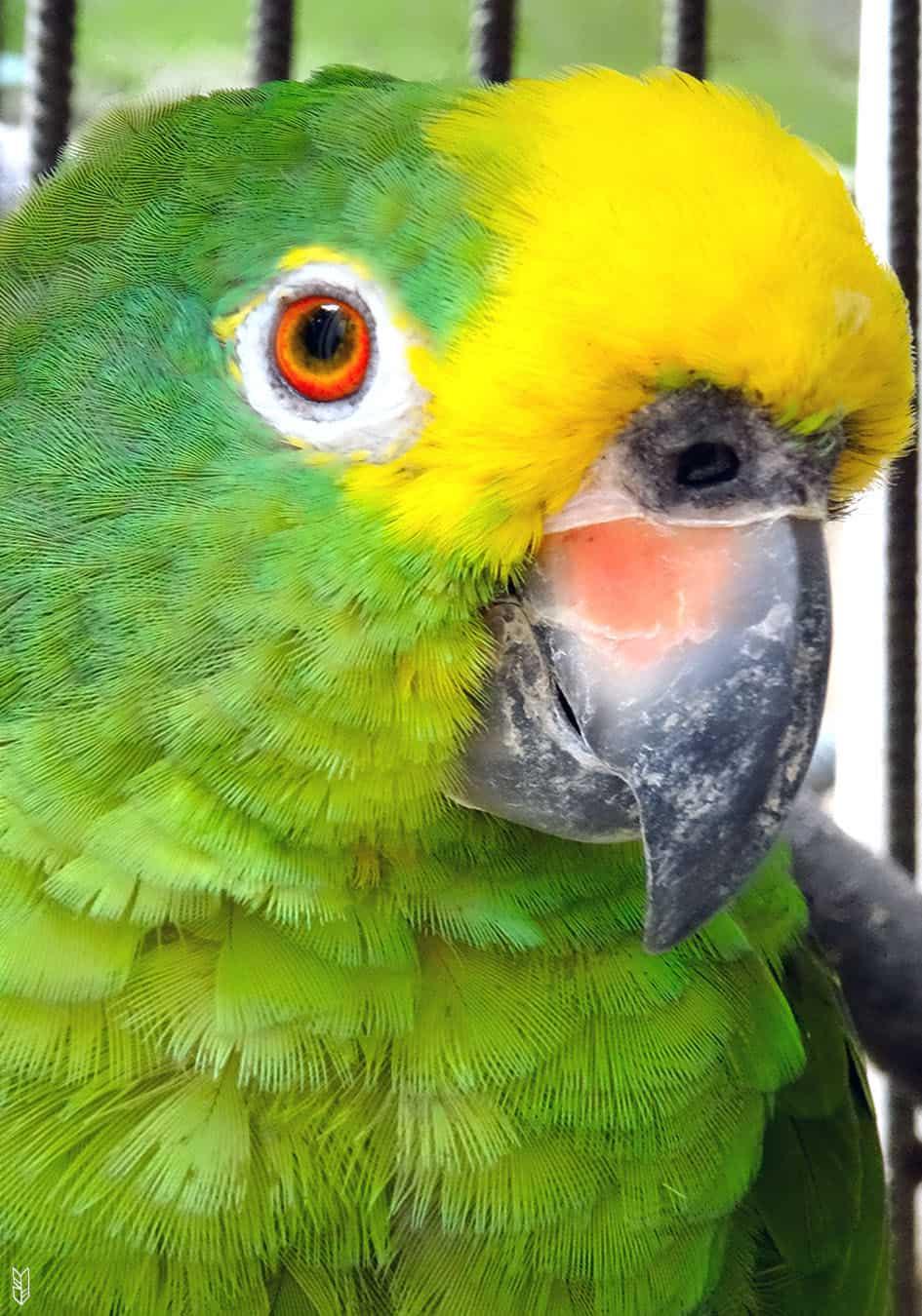 le perroquet de la maison - Venezuela