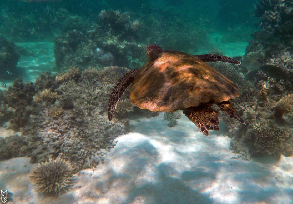 nager avec une tortue en Australie