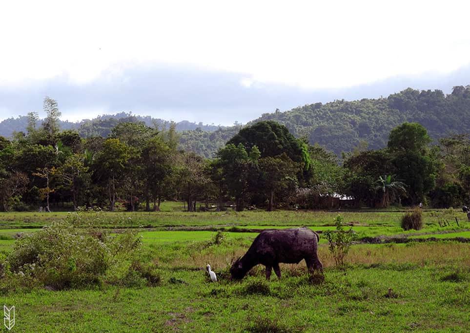 le carabao, animal typique des fermes aux Philippines