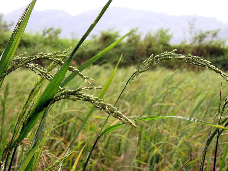 la récolte du riz aux Philippines