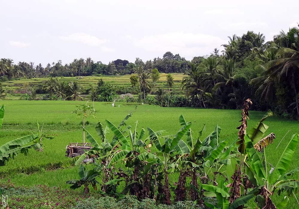 les rizières d'Ubud à Bali