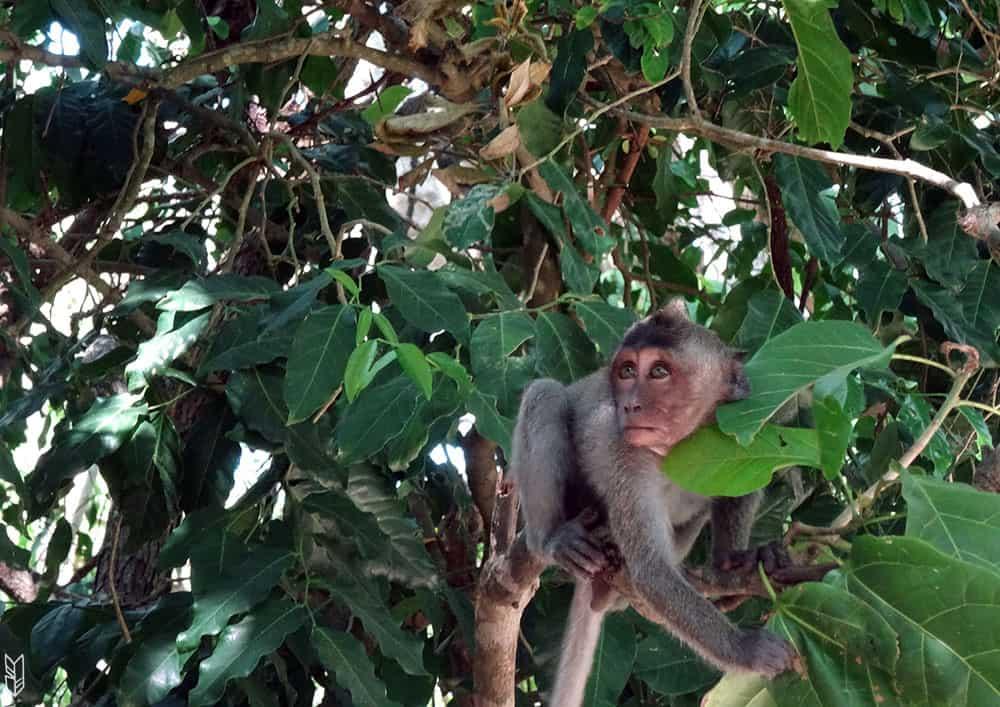singe - Bali