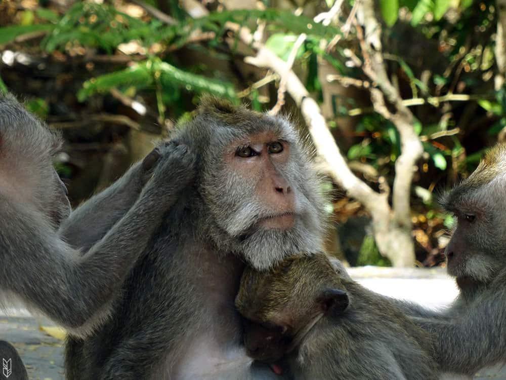 le temple des singes à Bali
