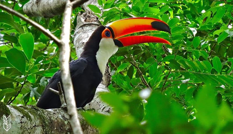 voir un toucan dans la forêt d'Iguazu