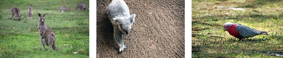 kangourous, koalas et perroquets d'Australie