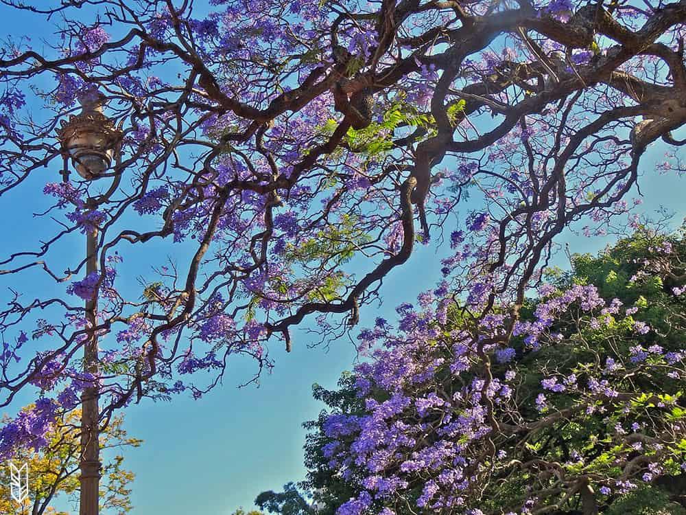 les jaracandas en fleurs