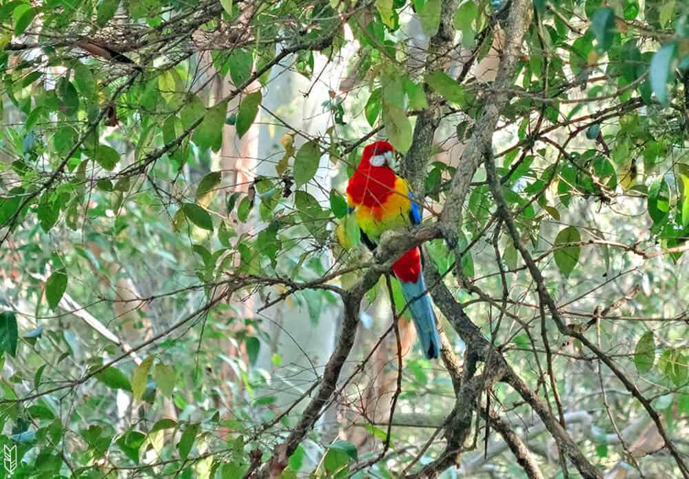 perroquet d'Australie