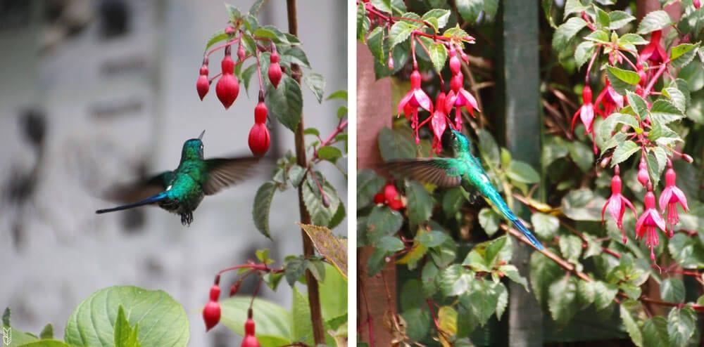 les colibris en plein déjeuner à Cocora