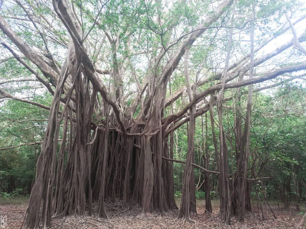 les arboles caminantes ou arbres marcheurs d'Amazonie
