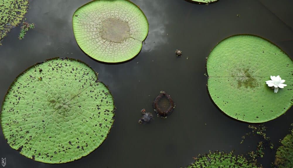 les nénuphars géants du lac Yahuarcaca