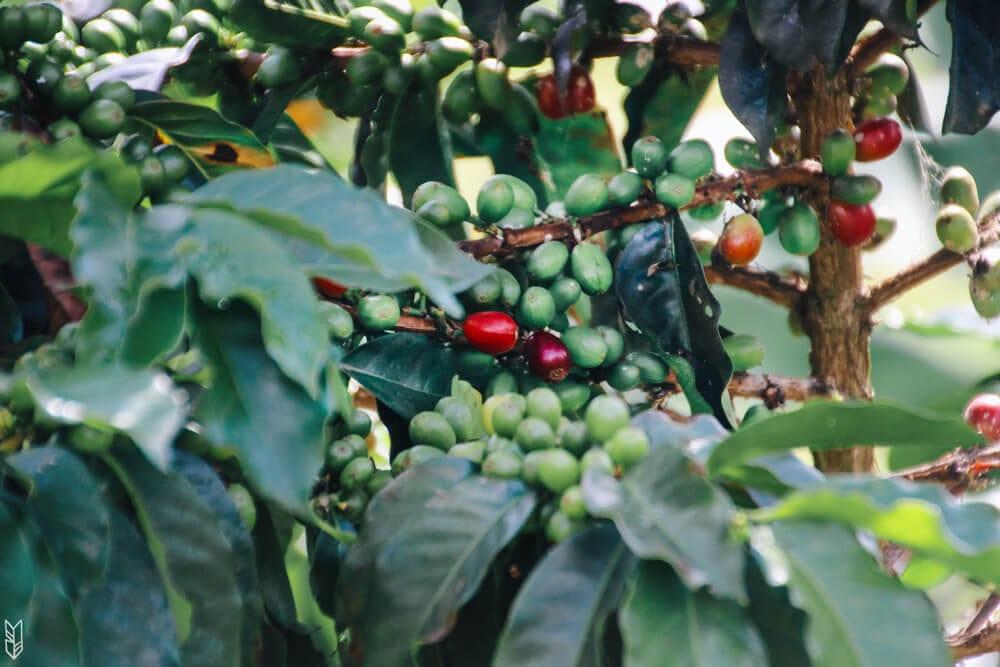Plantation de café à Jardín